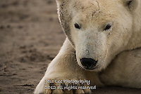 Dirty faced polar bear waits for the beaufort Sea to freeze. Alaska Polar Bear Photography Prints