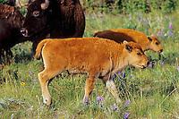 Bison calf (Bison bison).  National Bison Range, Montana.  June.