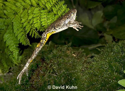 1219-1009  Frog Jumping, Eastern Gray Treefrog (Grey Tree Frog), Hyla versicolor  © David Kuhn/Dwight Kuhn Photography