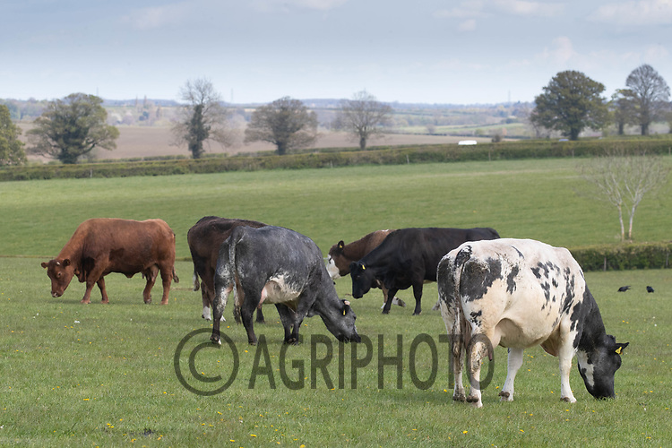 29-4-2021 Beef suckler cows with calves at foot grazing in Rutland <br /> ©Tim Scrivener Photographer 07850 303986<br />      ....Covering Agriculture In The UK....