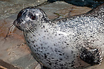 harbor seal female, 3/4 view hauled out on ledge