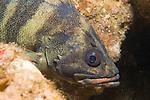 Catalina Island, Channel Islands, California; adult Treefish (Sebastes serriceps), amongst the rocky reef, Casino Point dive site , Copyright © Matthew Meier, matthewmeierphoto.com All Rights Reserved