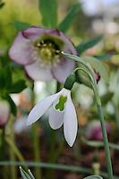 Galanthus Elwesii Kite