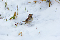 Rohrammer, Rohr-Ammer, Rohrspatz, im Ruhekleid, im Schnee, Emberiza schoeniclus, reed bunting, common reed bunting, Le Bruant des roseaux