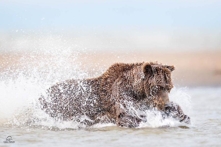 Coastal Brown Bear (Ursus arctos), on a desperate drive to fatten up for the pending hibernation, pursues a salmon.  Here she crashes down on the fish, and literally has it between her enormous paws . . . but this one got away.  Love the intensity in her eyes.