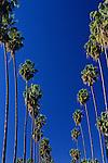 Palm trees lining street under blue sky along Sunset boulevard, downtown Los Angeles, California USA.