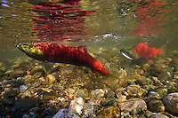 Female Sockeye Salmon (Oncorhynchus nerka) sweeps out a nest in the gravel with her tale in which she will spawn, while a male looks on.  Adams River, British Columbia, Canada.