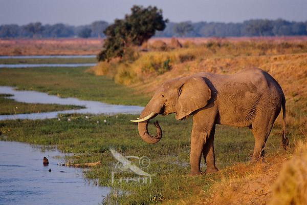 African Elephant bull drinks from the Zimbabwe side of the Zambezi River.