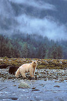 spirit bear, kermode, black bear, Ursus americanus, mother with cub trying to scent the photographer, in the rainforest of the central British Columbia coast, Canada