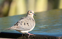 A Mourning Dove, Zenaida macroura, perches on a fountain in the Desert Botanical Garden, Phoenix, Arizona