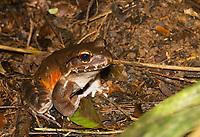 Smoky Jungle Frog, Leptodactylus pentadactylus, at Tirimbina Biological Reserve, Costa Rica