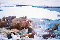 aerial view of walrus, Odobenus rosmarus, on the pack ice in the Bering Sea, off Alaska
