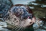 harbor seal, close-up of face looking at camera