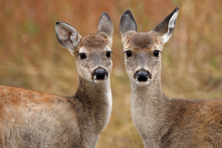 Whitetail fawns, late fall in the Hill County of Central Texas.