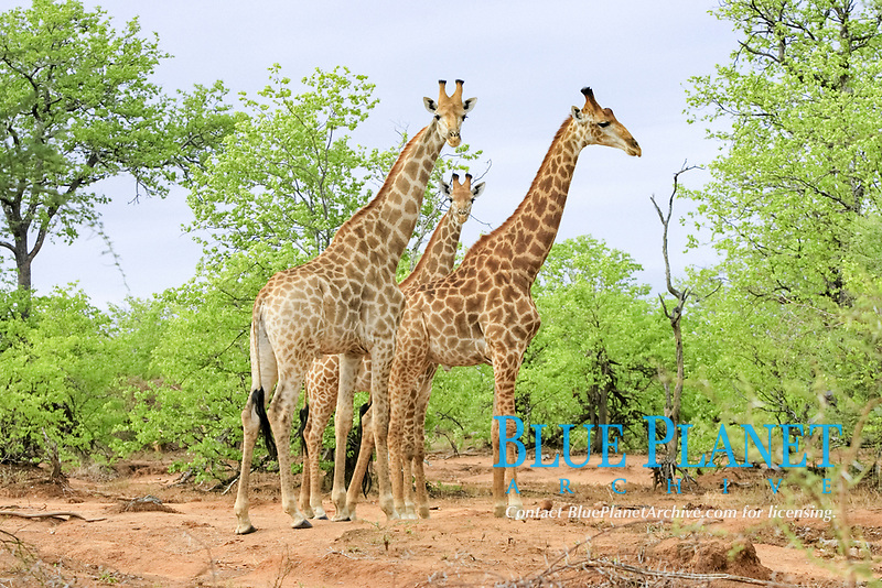 Cape Giraffe (Giraffa camelopardalis), three adult males, Kruger National Park, South Africa, Africa