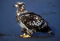 Juvenile bald eagle on beach, Alaska