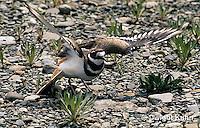 1K05-009z  Killdeer - adult broken wing act - Charadrius vociferus