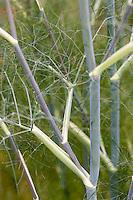 Europe/France/Bretagne/35/Ille et Vilaine/Bonnemain: Fenouil bronze dans le Jardin de Nadia  Romé à la Ferme des  Portes (herbes aromatiques,mesclun, légumes rares, volailles) utilisé comme plante condimentaire