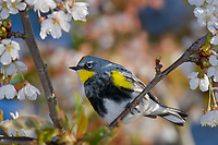 Yellow-rumped Warbler (Dendroica coronata) in cherry tree.  Pacific NW, April. (This is sometimes referred to as an Audubon's Warbler).