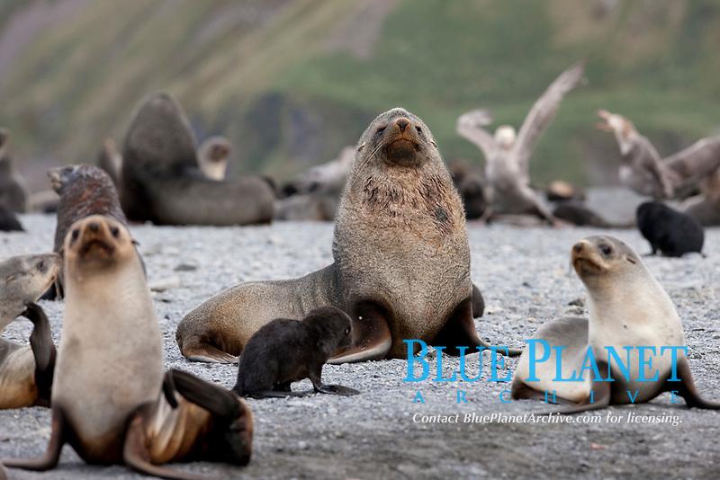 Adult male bull Antarctic fur seal, amid his harem of females and juvenile fur seals.