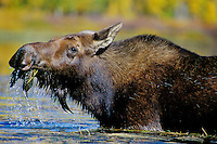Cow Moose (Alces alces) feeding on marsh plants.  Fall. Western U.S.