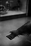"""Handout""<br /> Orangutan Display<br /> Museum of Natural History<br /> Manhattan, NY<br /> From the ""Captivity"" series. <br /> © Thierry Gourjon-Bieltvedt"