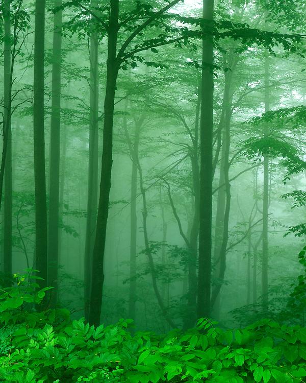 Foggy morning along Skyline drive; Shenandoah National Park, VA