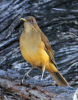 Clay-colored robin. Notice this bird has a deformed upper mandible.