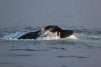 Humpback whale (Megaptera novaeangliae) Lunge feeding on Capelin (Mallotus villosus) in calm sea. Edgeoya, Svalbard archipelago, Arctic Ocean