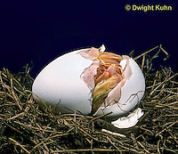 DG03-011x  Chicken - embryology, chick just hatching from egg, cracking open shell