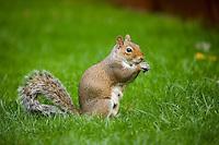 Grey squirrel, sciurus carolinensis, in suburban garden. England