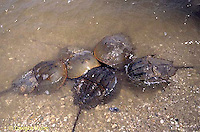 1Y47-192x  Horseshoe Crab - mating on beach at high spring tide -  Limulus polyphemus