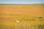White heron in wetlands of Hammonasset State Beach Park.