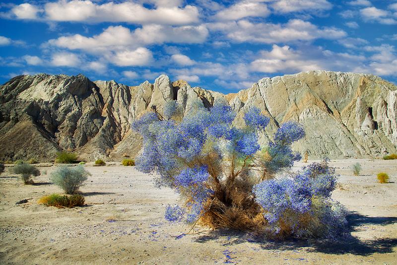 Indio Bush (Psorothamnus schottii) in bloom. Painted Canyon , Mecca Hills Wilderness. California