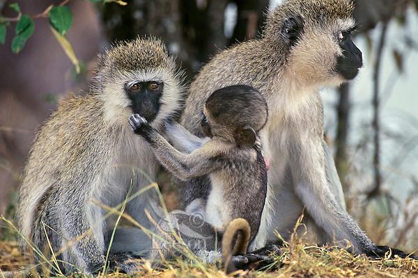 Vervet Monkeya (Chlorocebus pygerythrus), Africa.  Common monkey of the african savanna.