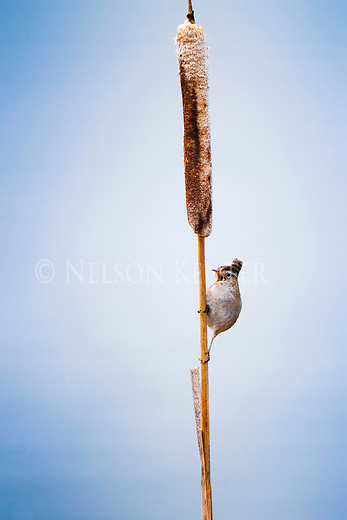 A Marsh Wren singing from a cattail reed in Lee Metcalf Wildlife Refuge in Montana