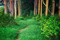 Path in Rainbow Eucalyptus (Eucalyptus deglupta). Maui, Hawaii