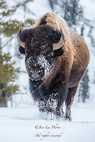 Bison in winter from Yellowstone national park with snow on its face. Yellowstone bison Photography