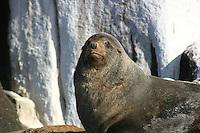 New Zealand Fur Seal on the Hippolyte Rocks, Tasman Peninsula, Tasmania