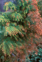 Cryptomeria japonica 'Elegans Compacta' in autumn fall changing color needles foliage conifer evergreen