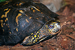 Eastern box turtle walking over dark mulch in garden 3/4 shot of head and shoulders looking at camera.