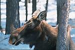 Atteignant près de deux mètres au garrot, l'orignal (Alces alces americana) est le plus grand cervidé au monde. Malgré sa taille imposante, il constitue la proie principale du loup. Quebec en hiver. Canada.