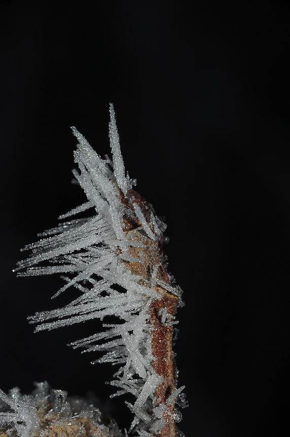 Hoar Frost on Alder branch