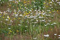 Schafgarbe, Gewöhnliche Schafgarbe, Wiesen-Schafgarbe, Schafgabe, Achillea millefolium, yarrow, Common Yarrow, Achillée millefeuille, la Millefeuille, Blumenwiese