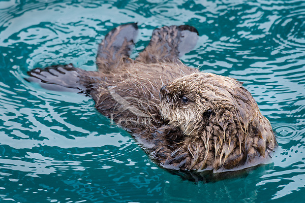 Young Sea Otter (Enhydra lutris) pup resting in sheltered bay on Prince William Sound, Alaska.  Spring.
