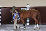 August 29, 2015. Ravelo's Boy, a son of Lawyer Ron who once ran in the Belmont Stakes, walks in the paddock before race 6, a $20,000 claiming event. Undercard races and scenes around the track on Smarty Jones Stakes Day at  Parx Racing in Bensalem, PA.  (Joan Fairman Kanes/ESW/CSM)