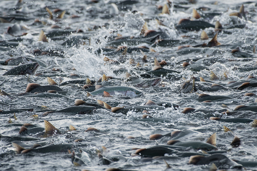 Pink Salmon (Oncorhynchus gorbuscha) school at the mouth of a small stream on Prince William Sound, Alaska.  Photo by James R. Evans