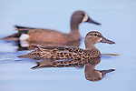 Pair of blue-winged teal on a nothern Wisconsin lake.