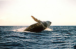 The Humpback Whale breaches off the Maui Coastline in the AuAu Channel on February 19,2005.Sequence photos 4 of 5.© Debbie VanStory/RockinExposures.
