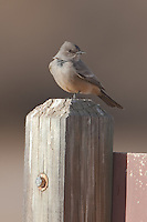 Say's Phoebe (Sayornis saya) perching on a sign post while hunting for insects